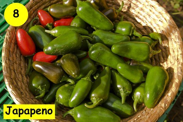 Japapeno Chili Samen